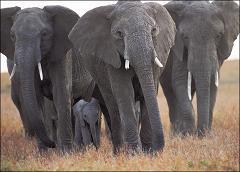 elephant species