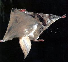 How Does a Flying Squirrel Fly