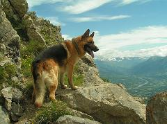 How Did the German Shepherd Get Its Name and Where Did the Breed Originate?