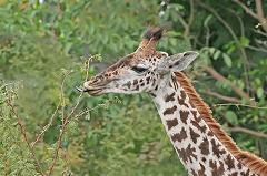 What Does a Giraffe Eat In the Wild and How Long Is a Giraffe's Tongue?