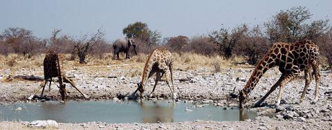 giraffes drinking water