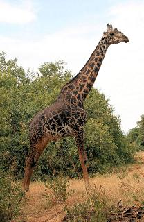How Big Is a Giraffe's Heart and How Does a Giraffe Get Enough Blood to Its Brain Through Its Long Neck?