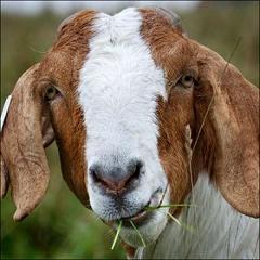 goats milk is creamy