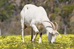 goats eat shrubbery and weeds