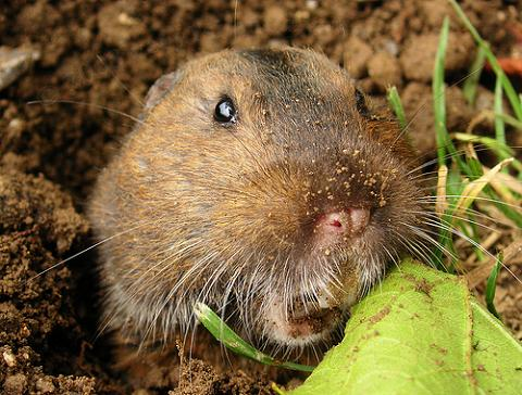 How Did the Gopher Get its Name and What Does the Word Gopher Mean in French