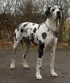 How Did The Great Dane Get Its Name And Where Did The Dog Breed Originate