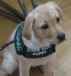 Labrador guide dog