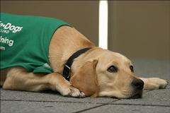 guide dog resting