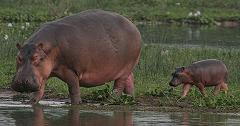 hippopotamus second biggest mammal