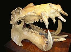 hippopotamus skull and teeth