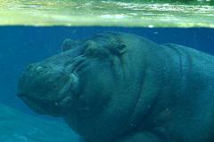 hippopotamus means water horse