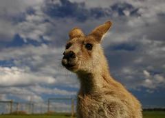 ice age kangaroo
