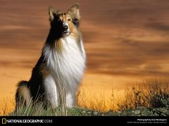 What Was the Name of the Dog That Played Lassie and What Type of Dog Breed Was Lassie?