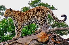 leopards have spots for camouflage