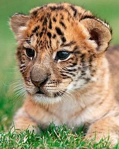 liger cub