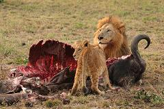 lion eating prey with cub