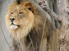 male lions have manes