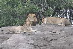 lions are organized into prides