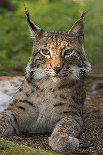 lynx wild cat