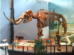mastodon skeleton from the ice age