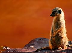 How Did the Meerkat Get its Name