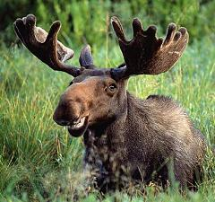 The Moose is the Largest Species of Deer in the World