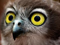 owls have big eyes