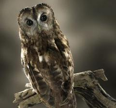 How Far Can an Owl Turn Its Head and Can an Owl Turn Its Head 360 Degrees Around?