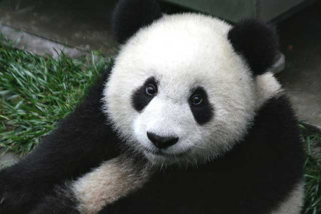 How Did the Giant Panda Bear Get its Name