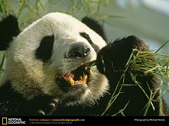 What Do Giant Panda Bears Eat