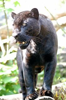 black panther a melanistic jaguar