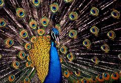 What Is the Difference Between Peacocks, Peahens and Peafowl and Can All of Them Raise Their Feathers?
