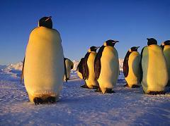 penguins in