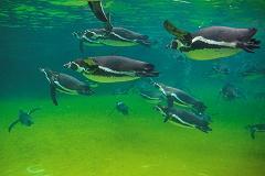 When Did Penguins Become Flightless Birds
