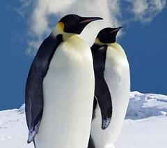 What Do Penguins Eat and How Big Do Penguins Get?
