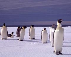 Why Do Penguins Live in Antarctica at the South Pole