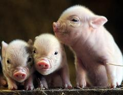 Why do Pigs Like Mud So Much and How Does Mud Help Protect Pigs From Sunburn