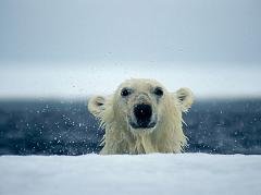 polar bears have an excellent sense of smell