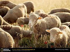 How Was the Sheep Important in the History of Agriculture