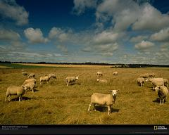 How Many Different Species of Sheep Are There in the World