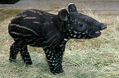 Where Does the Tapir Come From