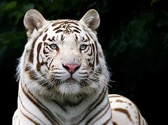 Why Are White Tigers an Endangered Species and How Many White Tigers Are Left In the Wild?