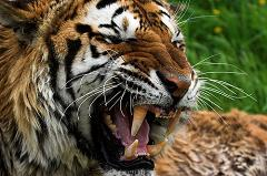 tigers sometimes eat people