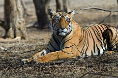 tigers pee on trees to mark their territory