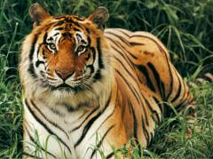 tigers are solitary animals