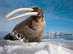 Why do Walruses Have Such Big Tusks