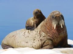 How Long Does a Walrus Live for and Do Walruses Mate and Reproduce On Land or In the Water?