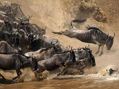 How Did the Wildebeest Get its Name