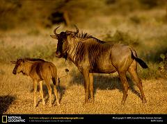 What is a Gnu
