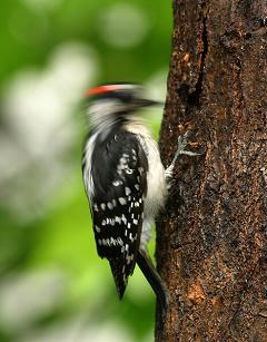 woodpecker pecking a tree